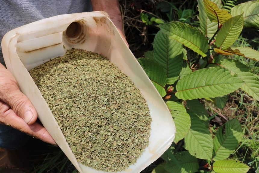 6 Rising Kratom Essence Traits To Look At In 2021